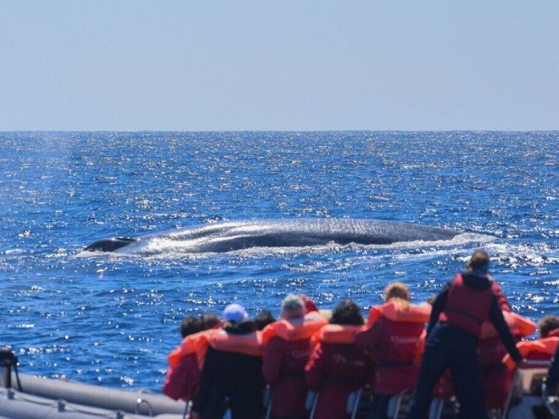 Baleia azul Blue whale fact sheet