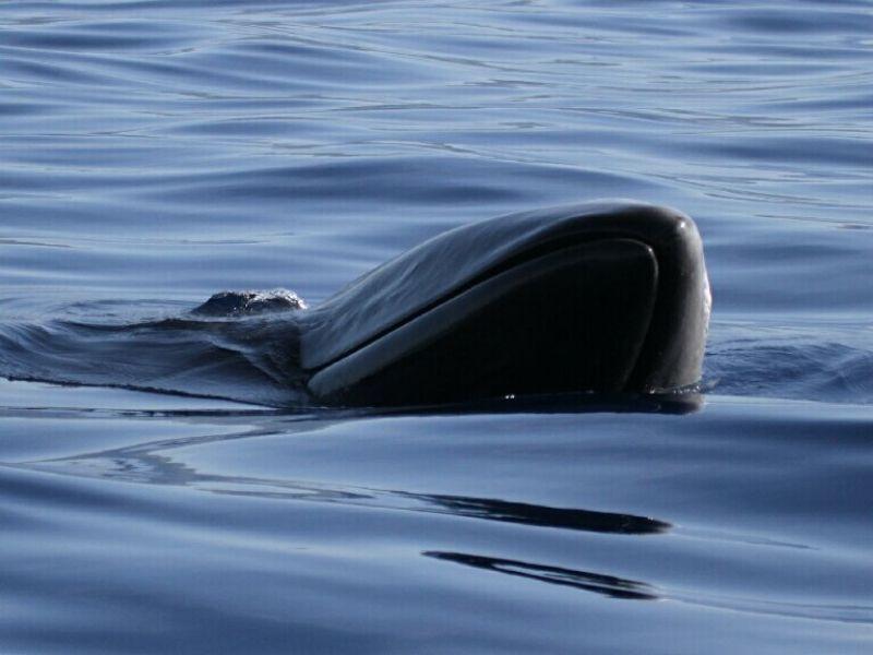 Baleia sardinheira sei whale fact sheet
