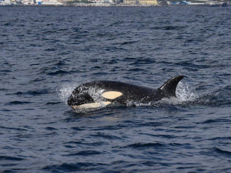 killer whale azores