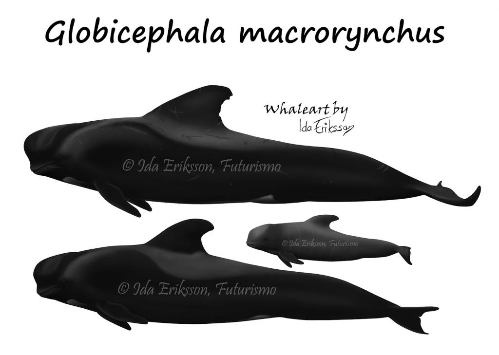 Globicephala macrorynchus