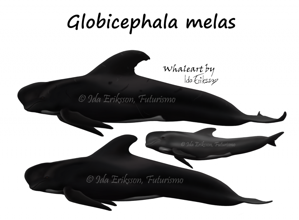 Globicephala melas