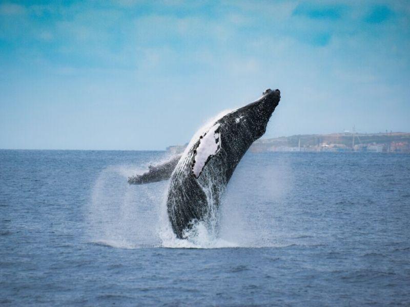 Humpback whale fact sheet