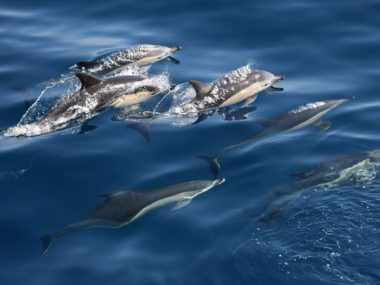 oceanic dolphins fact sheet