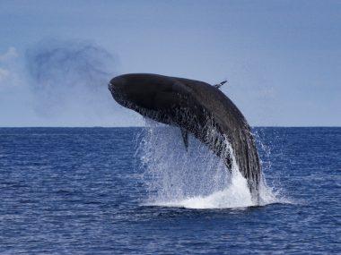 Sperm whale breaching in São Miguel