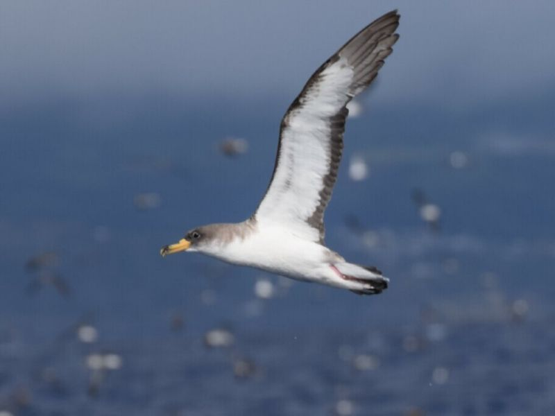 Cory's shearwaters in Azores
