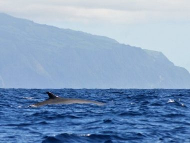 Fin whale in Sao Miguel