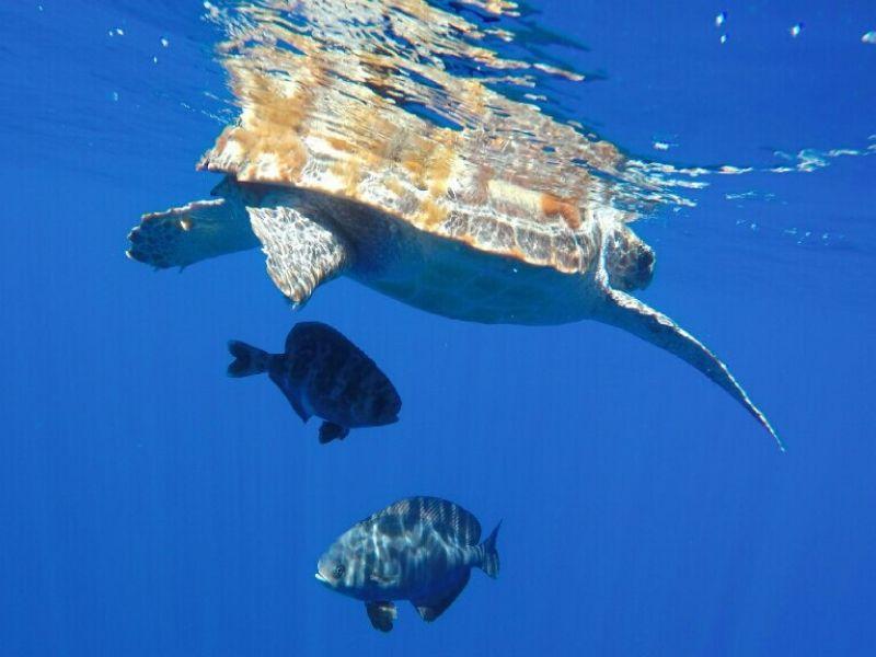 loggerhead turtle azores