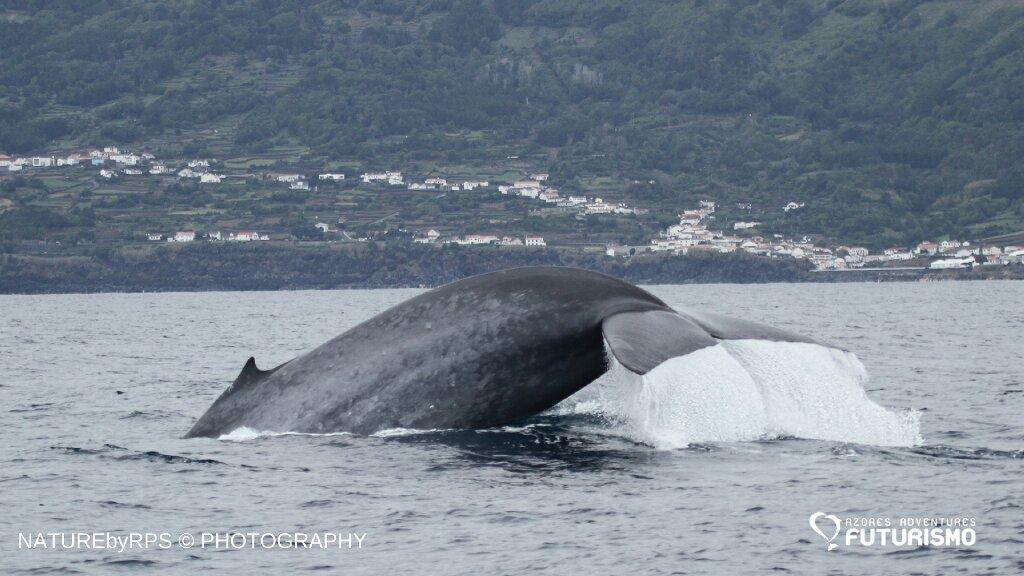 whale watching pico island