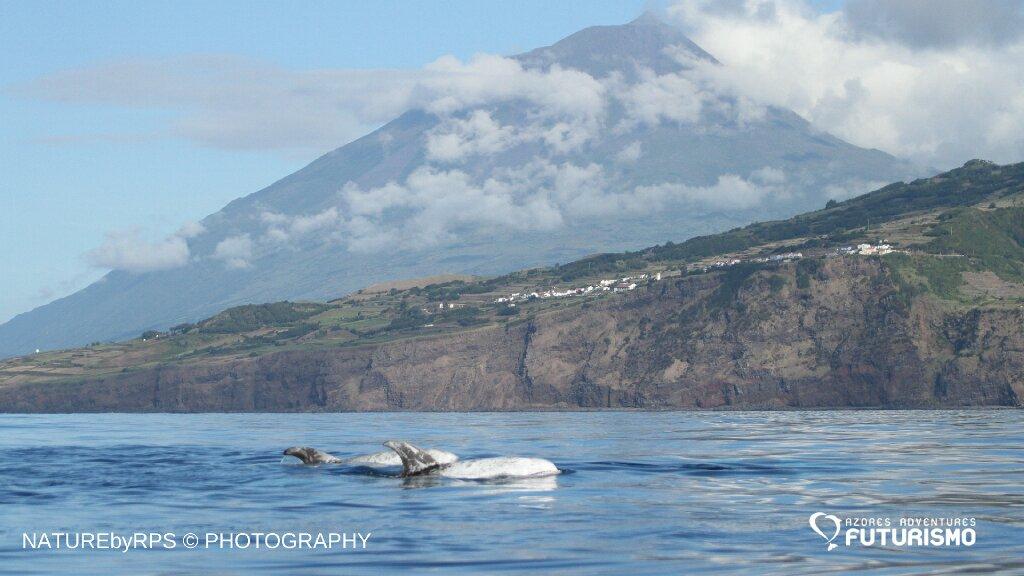 risso's dolphins pico island