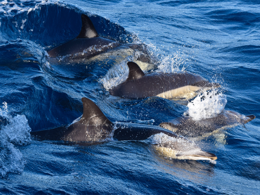 A pod of common dolphin in São Miguel