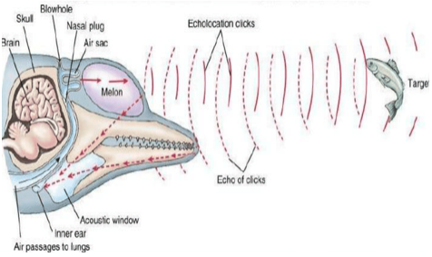 Echolocation of male indo-pacific bottlenose dolphin