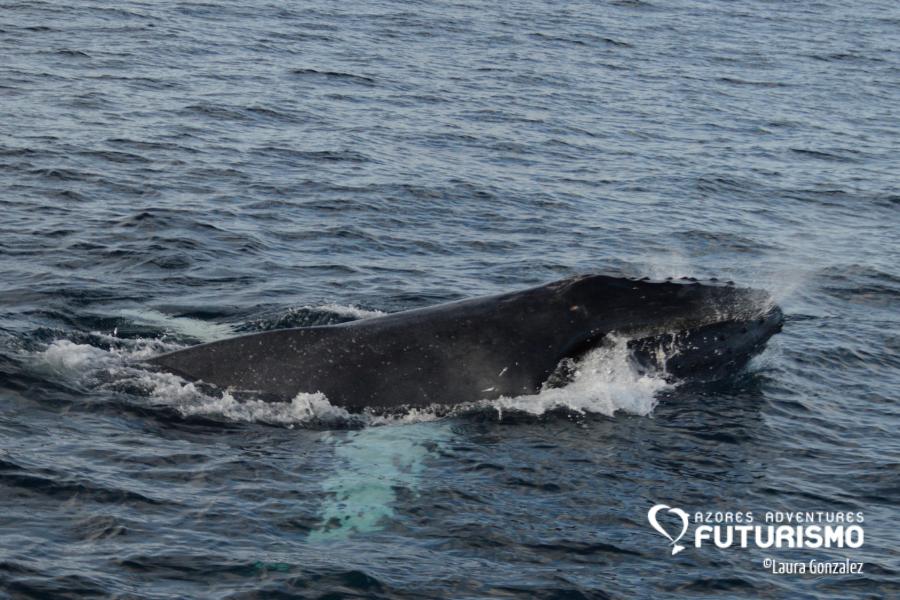 Humback whae is a ballen whale