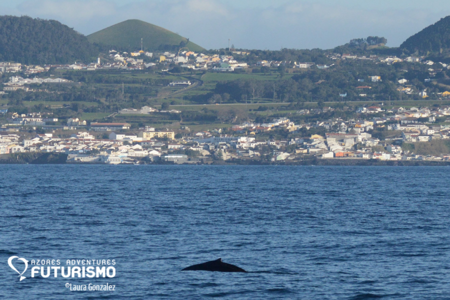 Humback whale in sao miguel