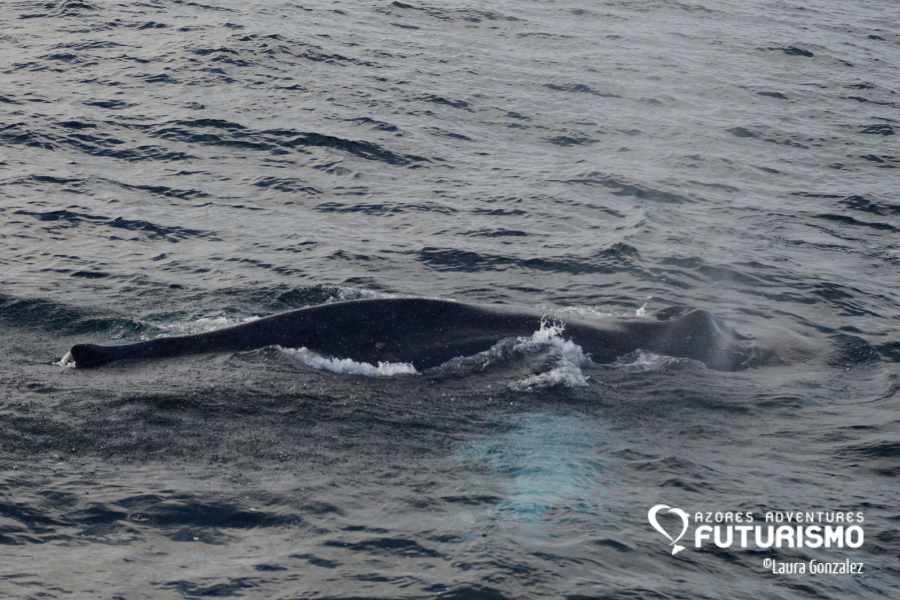 Humpback whale have huge white pectoral fins