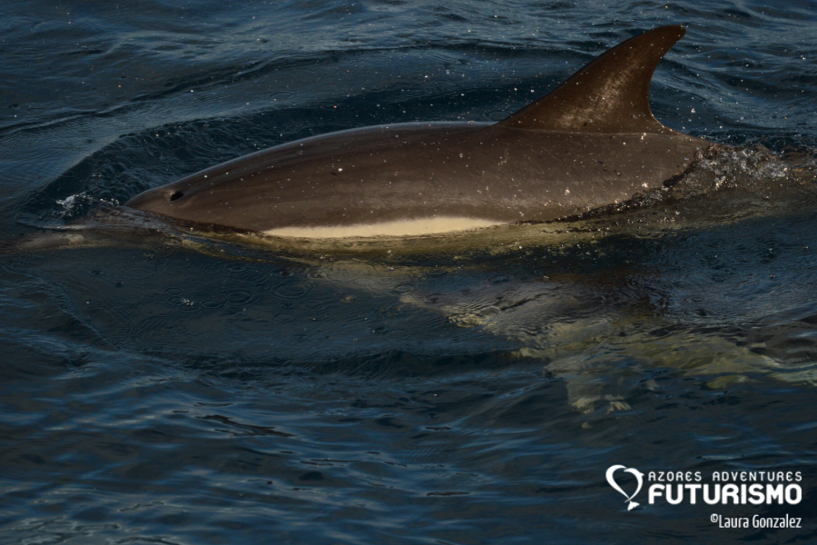 Common dolphin with yellow patch