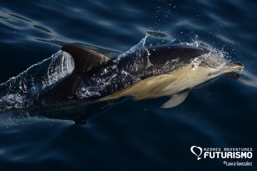 Amazing common dolphin