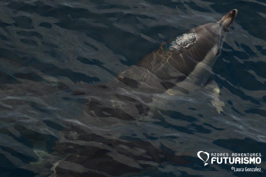 Common dolphin underwater