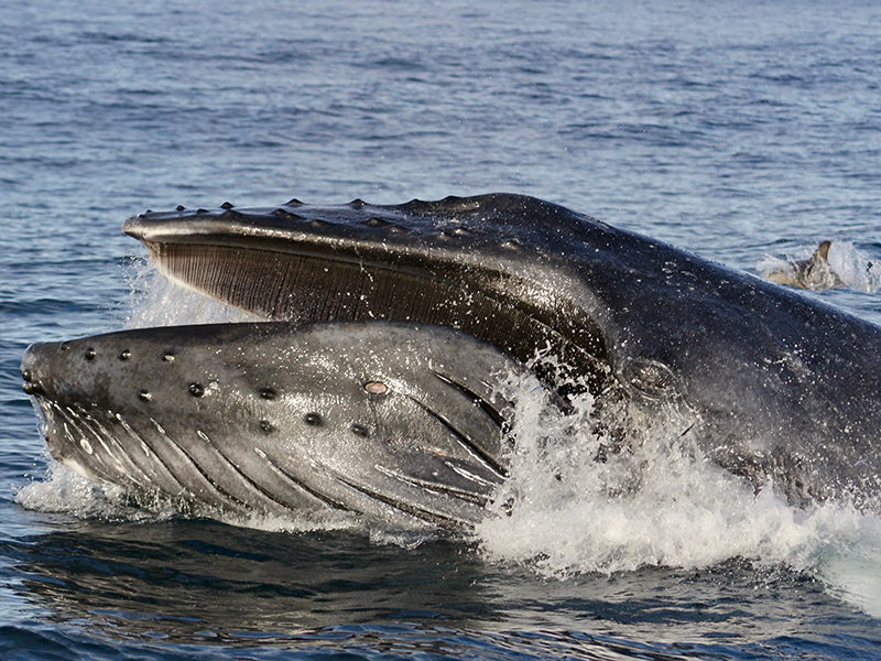Amazing humpback whale with open mouth in Futurismo Whale Watching Azores