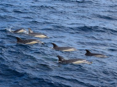 Common dolphins pod Futurismo Whale Watching Azores