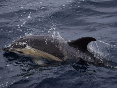 Common dolphin during Futurismo whale watching tour in February 2020
