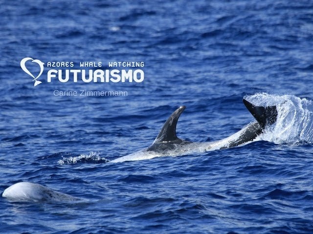 Adult Risso´s dolphin tail slapping