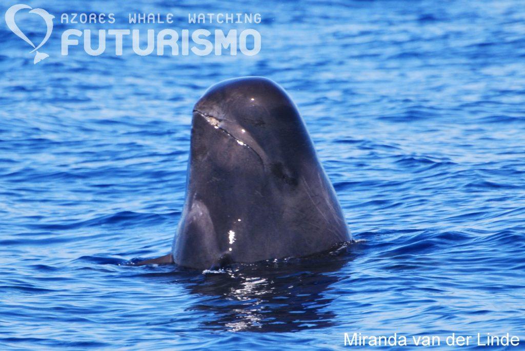 Pilot whale head