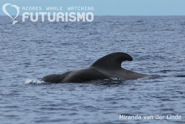 Pilot whale at surface