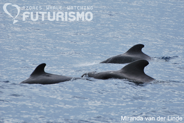 3 pilot whales in the Azores