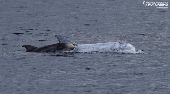 Risso dolphin and calf