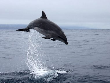 Bottlenose dolphin jumping in Azores
