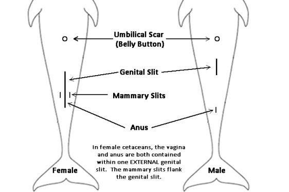 Female dolphin anatomy