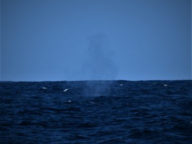 Fin Whale Blow Azores