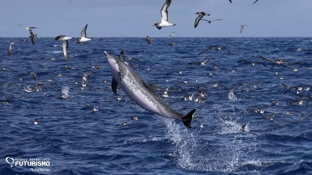 Golfinho pintado a saltar