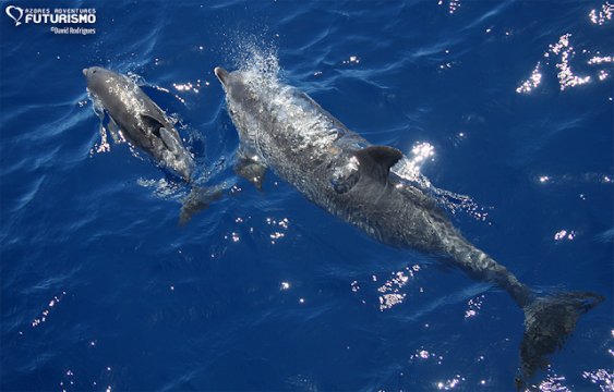 Spotted dolphin and calf swimming
