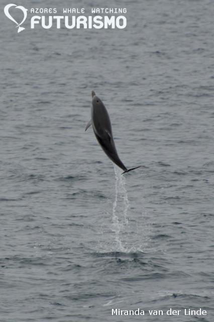 Salto golfinho riscado