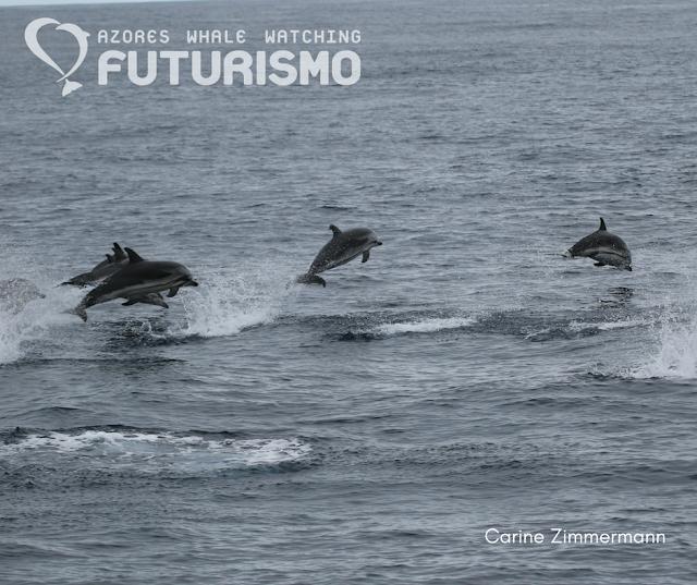 """Golfinhos riscados """"porpoising"""""""