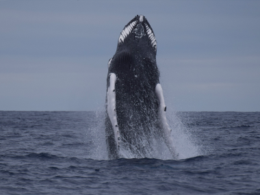 Humpback whale jumping Azores