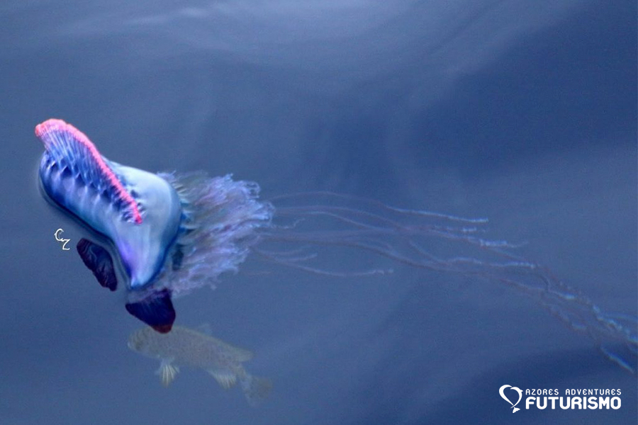 Portuguese Man-Of-War and a fish in the Azores