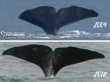 Sperm-whale-match-between-azores-2009-and-iceland-2018