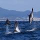 acasalamento golfinhos