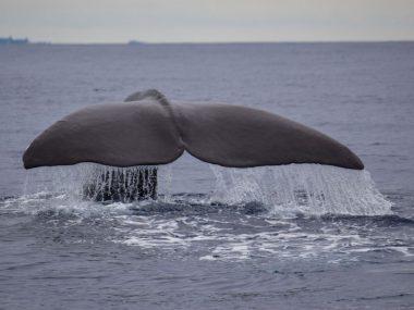 mr liable sperm whale tail