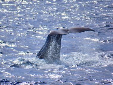 sperm whale azores