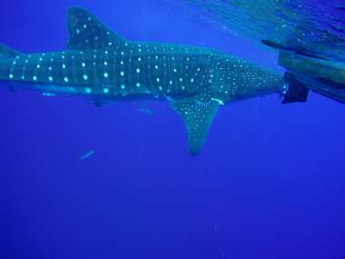 whale shark azores