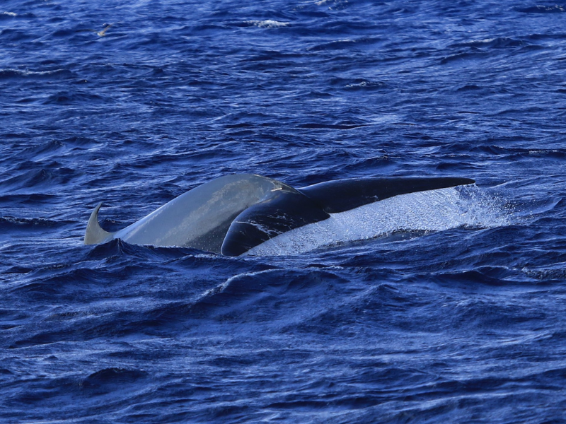 whale watching azores whales