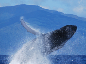 Humpback Breaching azores
