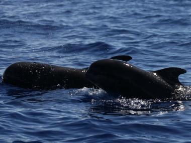 baleias piloto