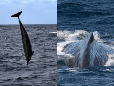 dolphins and whales azores