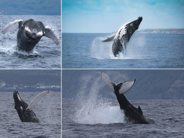 humpback whale 100 azores