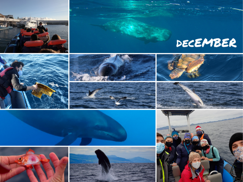 cetaceans azores december