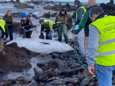 baleia salva açores saved whale azores
